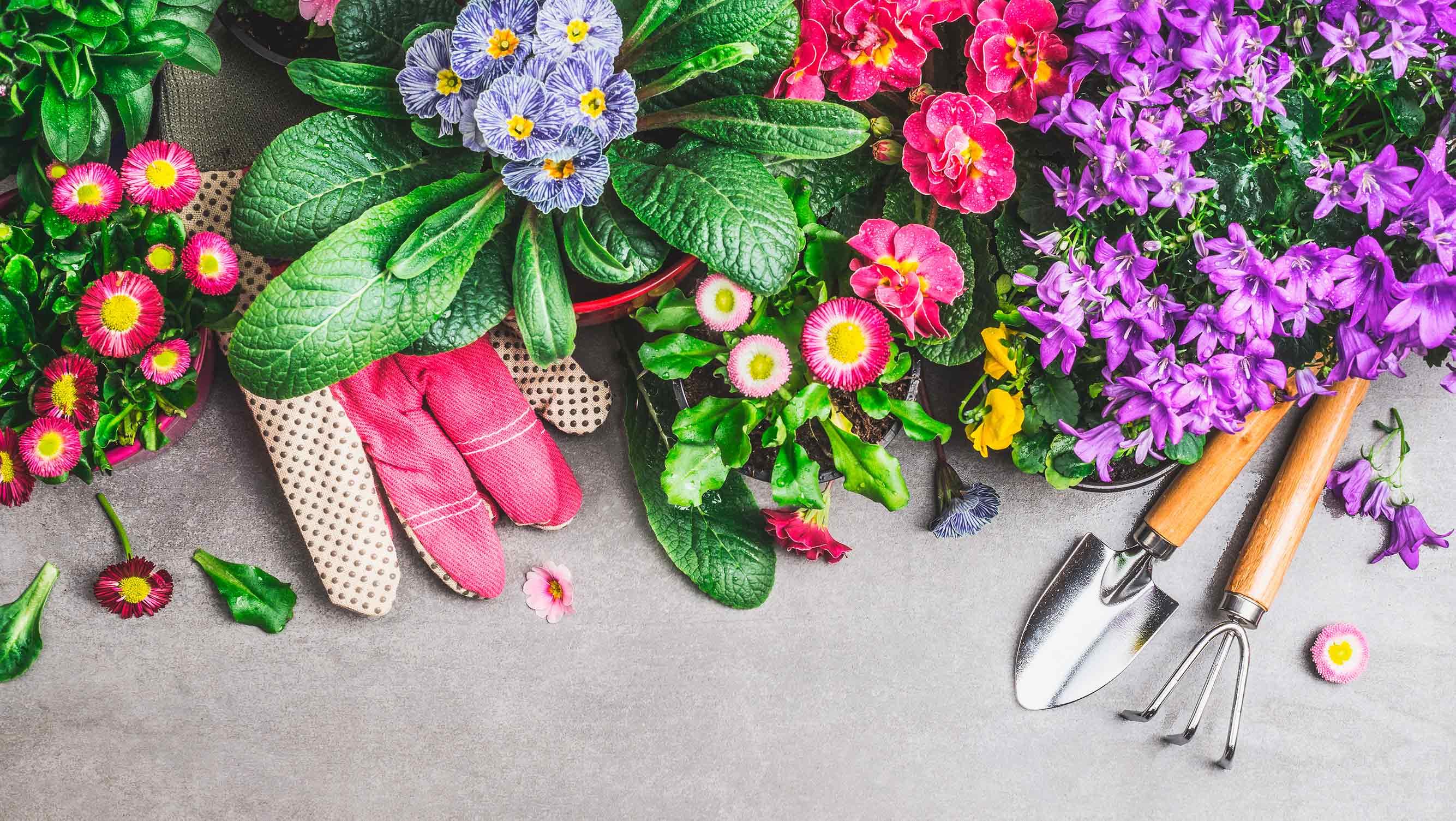 Grüne, rote, blaue, gelbe und lilafarbene Blumen von oben auf einem hellgrauen Untergrund. Rechts unten Handgabel und eine kleine Schaufel. Auf der linken Seite verbergen sich pinke Gartenhandschuhe unter den Blumen. Die Blumen sind vorbereitet für die Grabbepflanzung im Frühling.