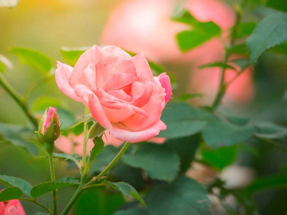 Rosafarbene Rose mit grünen Blättern und Trieben